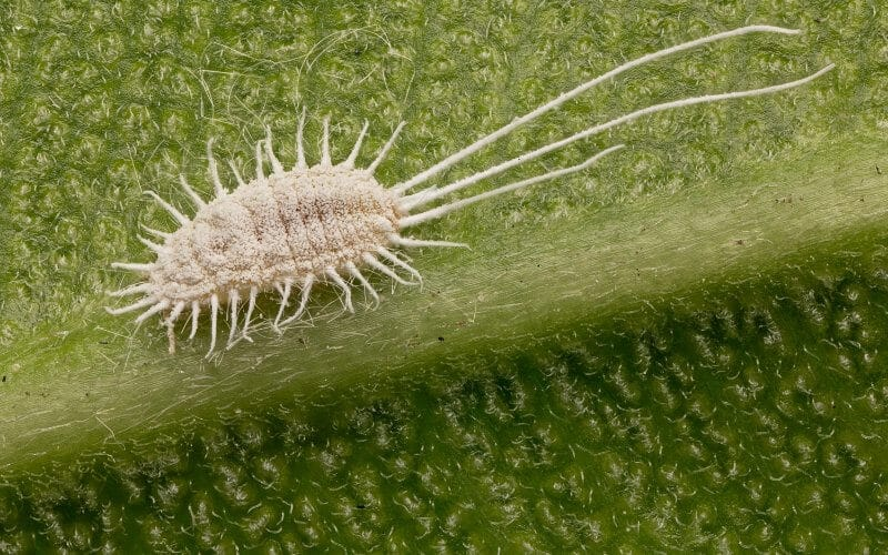 cochineal insect